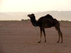 Camel - 4/17/15